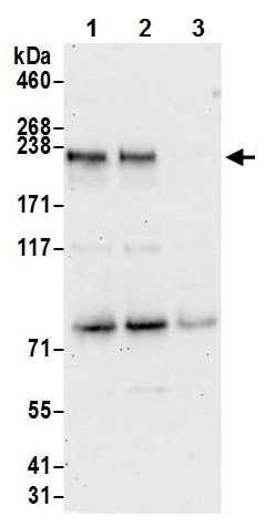 Western blot - Anti-NFAT5 antibody (ab226308)