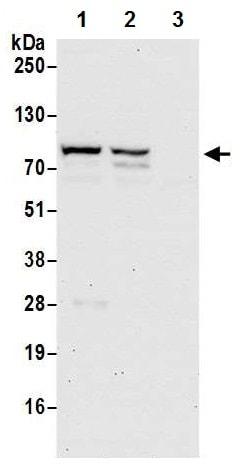 Western blot - Anti-LAP2 alpha antibody (ab226336)