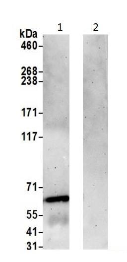 Immunoprecipitation - Anti-Munc18-1 antibody (ab226372)