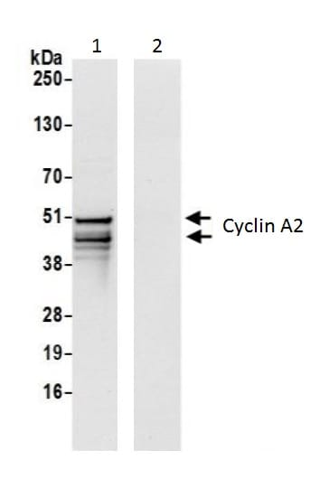 Immunoprecipitation - Anti-Cyclin A2 antibody (ab226373)
