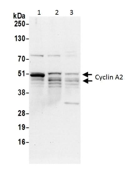 Western blot - Anti-Cyclin A2 antibody (ab226373)