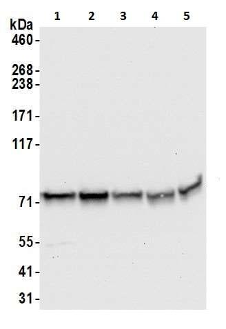 Western blot - Anti-Hsp75 antibody (ab226401)