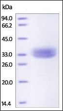 SDS-PAGE - Recombinant Rhesus monkey EpCAM protein (His tag) (ab226418)