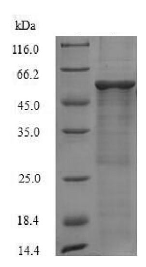 SDS-PAGE - Recombinant Mouse RPLP0 protein (Tagged) (ab226428)