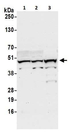 Western blot - Anti-TAPP-1 antibody - C-terminal (ab226465)