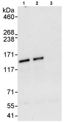 Immunoprecipitation - Anti-KDM4C / GASC1 / JMJD2C antibody (ab226480)