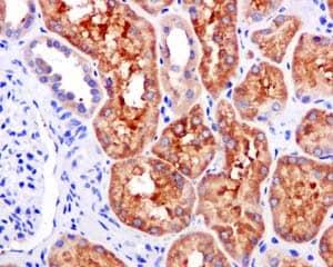 Immunohistochemistry (Formalin/PFA-fixed paraffin-embedded sections) - Anti-ALDH1L1 [EPR12743(B)] antibody (ab177463)