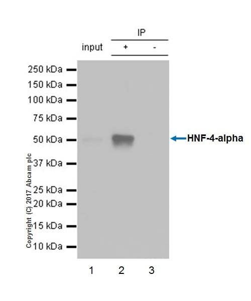 Immunoprecipitation - Anti-HNF-4-alpha antibody [EPR19265-130] - BSA and Azide free (ab226487)