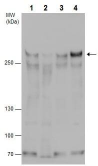 Western blot - Anti-ARID1B antibody (ab226762)
