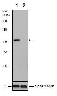 Western blot - Anti-delta 1 Catenin/CAS (phospho S268) antibody - N-terminal (ab226774)