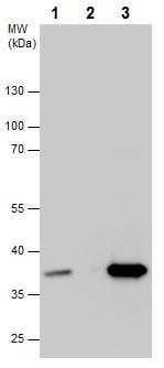 Immunoprecipitation - Anti-PP2A-alpha antibody - C-terminal (ab226790)