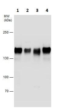 Western blot - Anti-BTF antibody - C-terminal (ab226796)