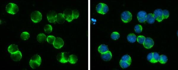 Immunocytochemistry/ Immunofluorescence - Anti-DOCK2 antibody - C-terminal (ab226797)