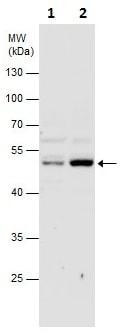 Western blot - Anti-DEK antibody (ab226818)
