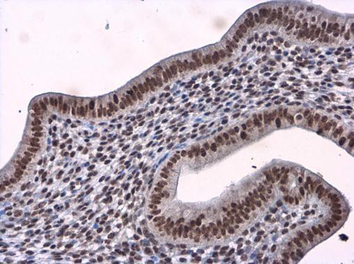 Immunohistochemistry (Formalin/PFA-fixed paraffin-embedded sections) - Anti-BTF antibody (ab226830)
