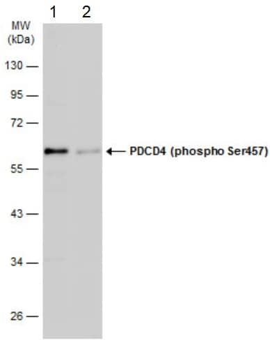 Western blot - Anti-PDCD4 (phospho S457) antibody (ab226849)