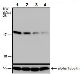 Western blot - Anti-HMGA1 antibody - N-terminal (ab226850)