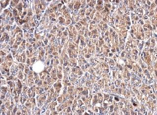 Immunohistochemistry (Formalin/PFA-fixed paraffin-embedded sections) - Anti-Glypican 1/ GPC1 antibody (ab226855)
