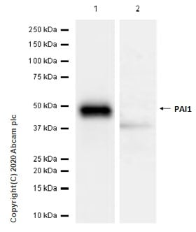 Western blot - Anti-PAI1 antibody [EPR17272-21] - BSA and Azide free (ab226864)