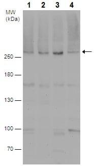 Western blot - Anti-Acetyl Coenzyme A Carboxylase antibody - C-terminal (ab226891)