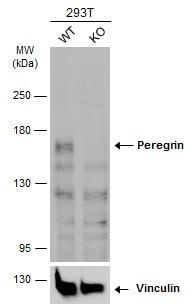 Western blot - Anti-Peregrin/BRPF1 antibody - N-terminal (ab226909)