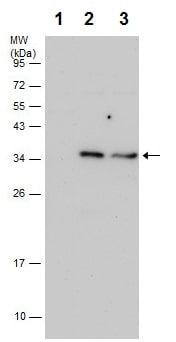 Western blot - Anti-IL-1 beta antibody (ab226918)