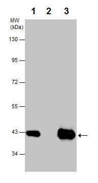 Immunoprecipitation - Anti-PBK/SPK antibody (ab226923)