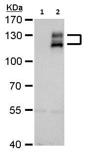 Western blot - Anti-Axl antibody (ab226927)