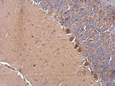 Immunohistochemistry (Formalin/PFA-fixed paraffin-embedded sections) - Anti-EDJ antibody (ab226941)