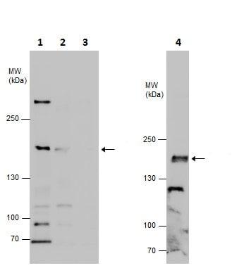 Western blot - Anti-FMN2 antibody - C-terminal (ab226944)