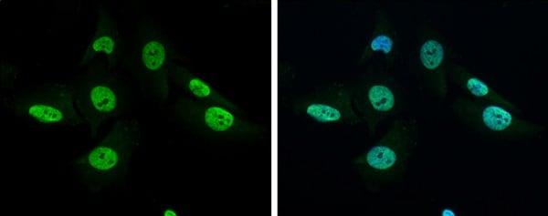 Immunocytochemistry/ Immunofluorescence - Anti-GRB2 antibody - C-terminal (ab226951)
