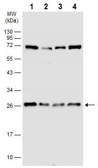 Western blot - Anti-GRB2 antibody - C-terminal (ab226951)