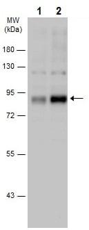 Western blot - Anti-RSK3 (phospho T356 + S360) antibody (ab226952)