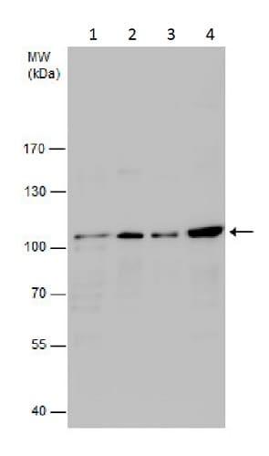 Western blot - Anti-VAV2 antibody - C-terminal (ab226955)