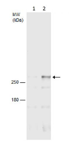 Western blot - Anti-mTOR (phospho S2448) antibody - C-terminal (ab226957)