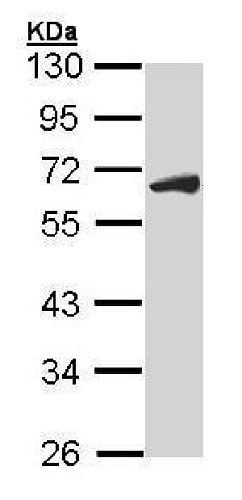 Western blot - Anti-Cdc25C antibody (ab226958)