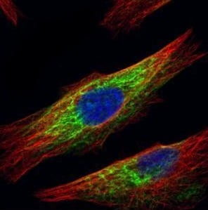 Immunocytochemistry/ Immunofluorescence - Anti-HDAC6 antibody - N-terminal (ab226959)
