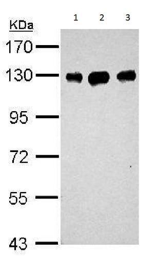 Western blot - Anti-DDB1 antibody - C-terminal (ab226968)