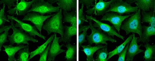Immunocytochemistry/ Immunofluorescence - Anti-Cyclin D2 antibody - N-terminal (ab226972)