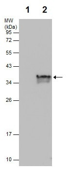 Immunoprecipitation - Anti-Cyclin D1 antibody (ab226977)