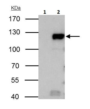 Immunoprecipitation - Anti-Rb antibody (ab226979)