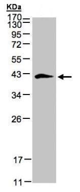 Western blot - Anti-Biglycan antibody (ab226991)