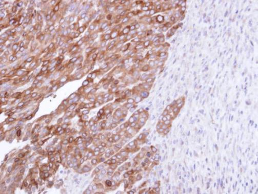 Immunohistochemistry (Formalin/PFA-fixed paraffin-embedded sections) - Anti-FDFT1 antibody (ab226995)