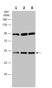 Western blot - Anti-RRAGC antibody (ab227007)