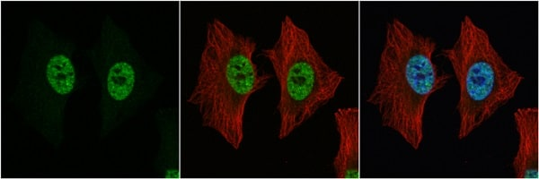 Immunocytochemistry/ Immunofluorescence - Anti-nmt55 / p54nrb antibody - N-terminal (ab227014)