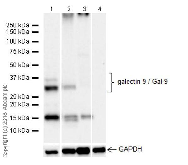 Western blot - Anti-galectin 9/Gal-9 antibody [EPR22214] (ab227046)