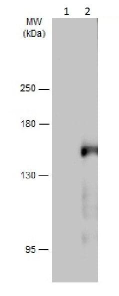 Western blot - Anti-PLCG 2 (phospho Y1217) antibody (ab227053)