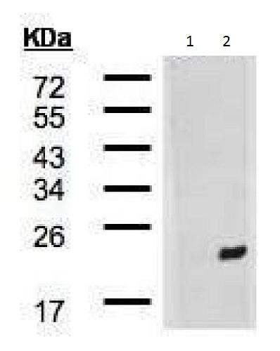 Western blot - Anti-DNAJB9 antibody - C-terminal (ab227055)