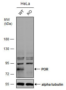 Western blot - Anti-Cytochrome P450 Reductase antibody - C-terminal (ab227065)