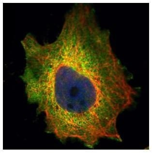 Immunocytochemistry/ Immunofluorescence - Anti-PDCD4 antibody (ab227080)